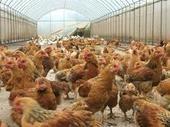 大棚饲养肉鸡的优点_棚舍-鸡舍-出栏-